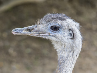 close-up of a curious Emu