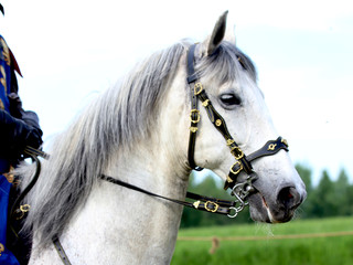 White horse in the park, closeup