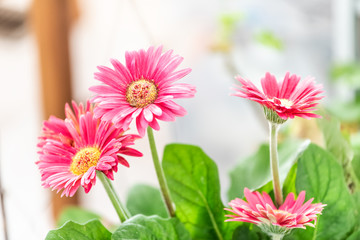Tuinposter Gerbera Macro closeup of flower pot with pink gerbera daisies potted plant in sunny room kitchen in home, house indoors interior