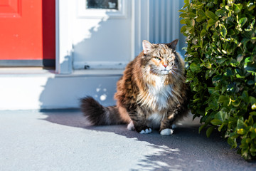 One angry calico maine coon cat standing outside by red door hiding behind bushes