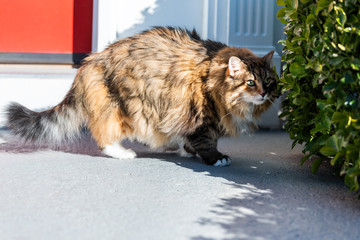 One scared fearful fear calico maine coon cat standing outside by red door hiding behind bushes