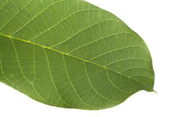 Keuken foto achterwand Natuur green leaf isolated on white background