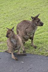 Kangaroo-Island kangaroo with joey
