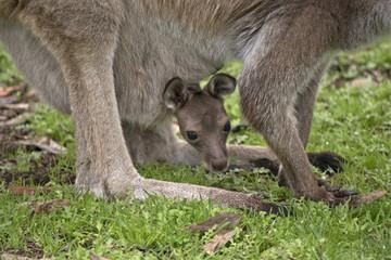 joey Kangaroo-Island kangaroo