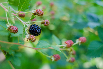 Single ripe blackberry on bush
