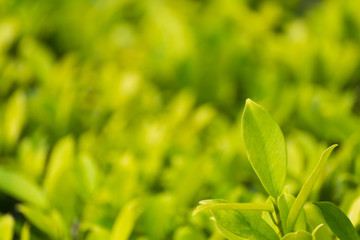 beautiful green leaves on green natural background