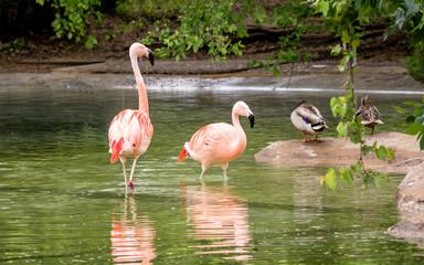 Chilean flamingos are enjoying summertime on water