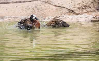 White faced whistling ducks are swimming in a pond