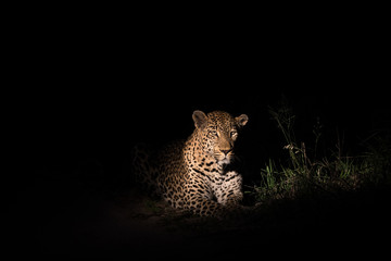 Large leopard in the beam of a spotlight