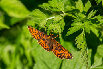 Nice big orange butterfly on green leaf