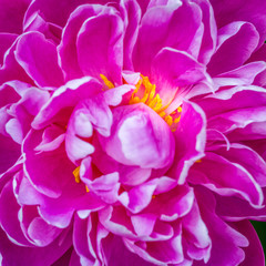 closeup of a pink peony with yellow stamens