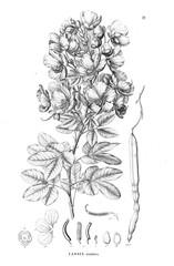 Illustration of plant