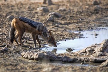 Black-backed jackal, Canis mesomelas, at waterhole, gemsbok national park, Kalahari South Africa
