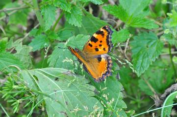 The large tortoiseshell or blackleg tortoiseshell butterfly(Nymphalis polychloros). Beautiful large butterfly