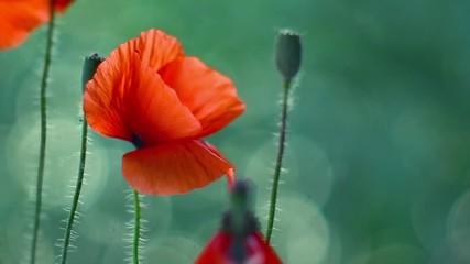 Fotoväggar - Poppy flowers. Blooming poppies swaying on wind. Rural landscape with red wildflowers. Slow motion 4K UHD video 3840X2160
