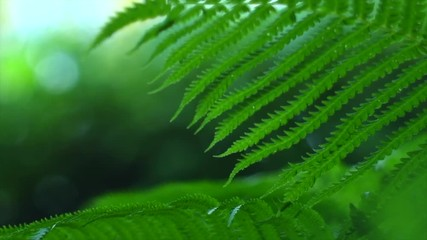Fotoväggar - Fern growing in summer garden. Green fern leaves over blurred nature background. Gardening concept. Slow motion 4K UHD video 3840X2160