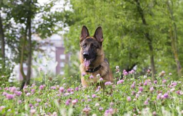 German shepherd play in the summer park