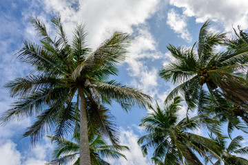 Crown of palm trees