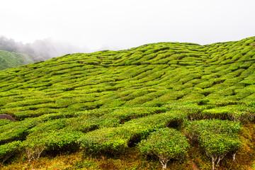 Tea plantations, Cameron Highlands, Pahang, Malaysia