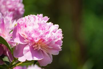 Blüte einer pfingsrose in natürlicher Umgebung