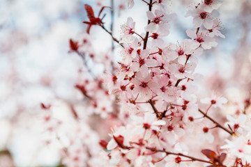 Cherry Blossom in spring with Soft focus, Spring season in Prague, Czech Republic
