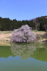 鏡桜(福島県・喜多方市)