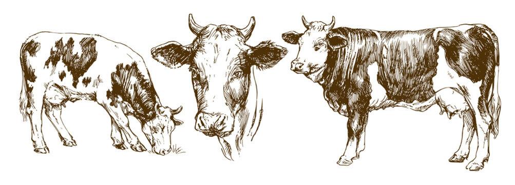 Cows, hand drawn set.
