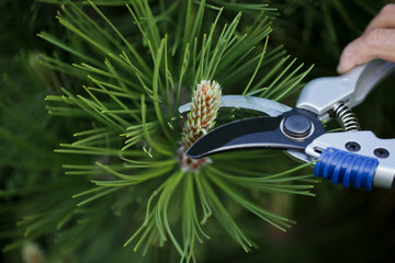 Decorative pruning of young pine shoots in May. The concept of landscape design. Topiary.
