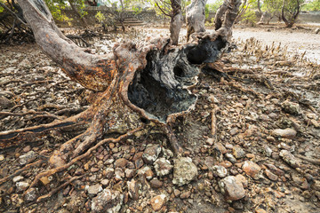 Roots of old mangrove tree on Cambodia seaside bank.
