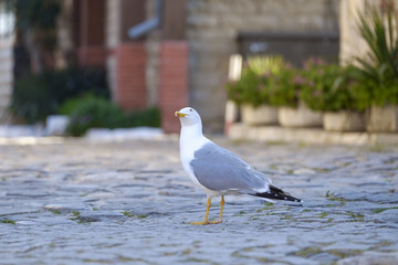 Portrait of a gull on a pavement in the center of the old town 2