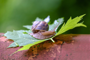 Big snail on a maple leaf close-up 2
