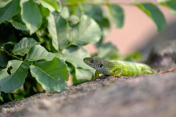 Portrait of a green lizard in the rocks 3