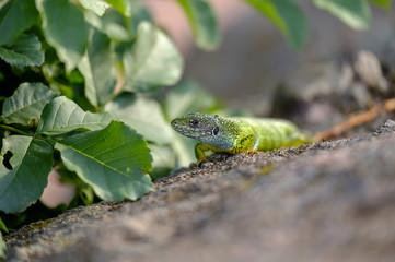 Portrait of a green lizard in the rocks 5