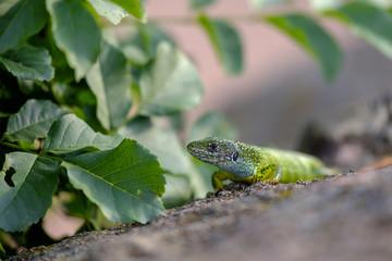 Portrait of a green lizard in the rocks 9