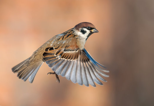 Tree sparrow in high speed flight with stretched wings