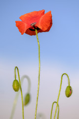Blooming poppy on a blue sky background 2