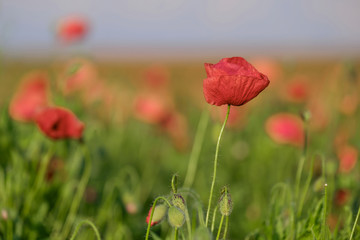 Amazing beautiful poppies blooming in the field 1