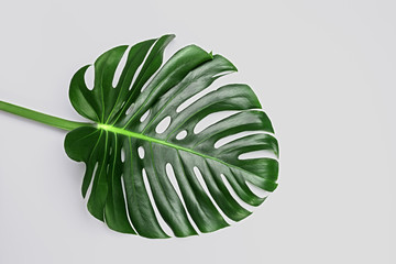 Big green leaf of Monstera plant on white background