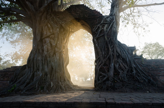 Ancient arch in tree root at Wat Phra Ngam, Ayutthaya