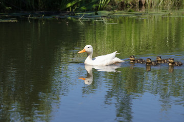 Weisse Ente, Kücken, Entenfamilie, Spreewald, Hybrit Ente