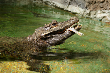 Alligator eats fish