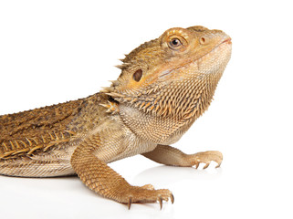 Lizard Bearded Dragon on white