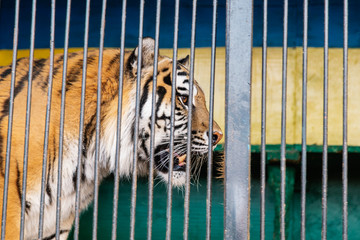 wild tiger portret trapped betweencage bars. Tiger in a cage