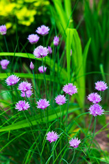 Blooming violet onion plant in garden. Flower decorative onion. Close-up of violet onions flowers on summer field.. Violet allium flower (allium giganteum). Beautiful blossoming onions.