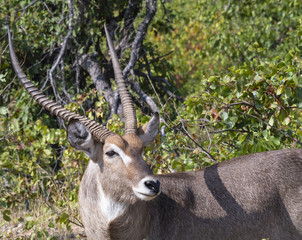 Male waterbuck, ( Kobus ellipsiprymnus ) looking left, with beautiful uoright horns. Kruger National Park, South Africa