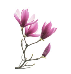 Garden Poster Magnolia magnolia flower spring branch isolated on white background