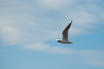 Seagull flying close-up against the sky,