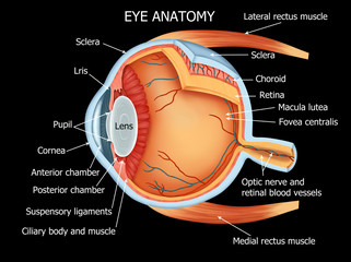 illutration of Human Eye Anatomy