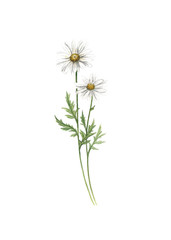 Chamomile flower watercolor