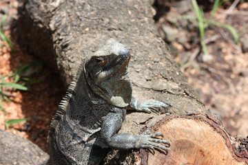 Cute lizard leanding his front feet against a downed tree log looking like he is expecting you to serve him